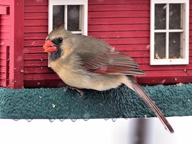 Northern Cardinal 3-20130305