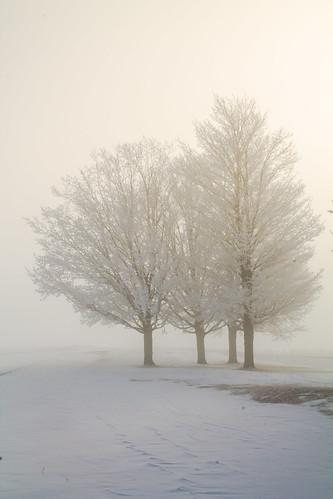 Trees in freezing fog