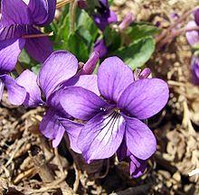 violet violetta baby name