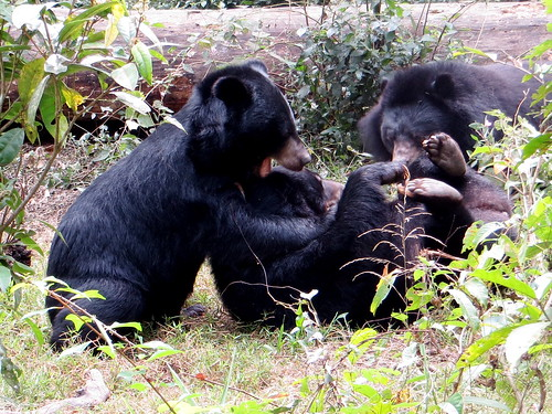 Bears in Fansipan mountain