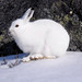 The Wild, Elusive Arctic Hare by Zircon_215