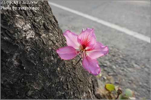 雲林土庫_羊蹄甲20130309_DSC00190