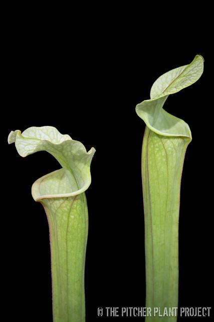 "Sarracenia 'Reptilian Rose' x leucophylla ""pale"" - clone 2"