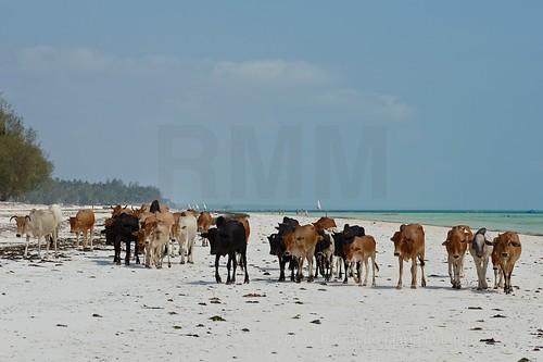 africa travel animals tanzania nikon cows zanzibar viaggio spiaggia d800 mucche vacche mantero kiwenga stockcategories afszoomnikkor2470mmf28ged riccardomantero riccardomariamantero ljsilver71