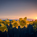 Daffodils at Sunset, Skagit Valley, Washington by Michael Riffle