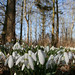 Glevering Mill has added a photo to the pool:Guests of the Glevering Mill holiday Cottage can take a walk through the natural woodland paths surrounded by this seasons Snowdrops.