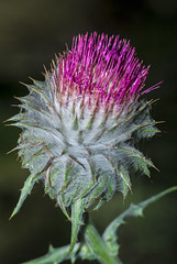 flower, bud, thistle, nature, macro photography, wildflower, flora, green, silybum, artichoke thistle, close-up, plant stem,