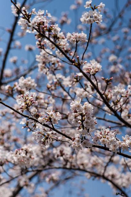 Sakura at Osaka Castle