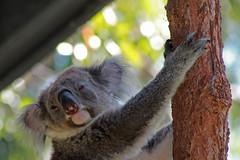 animal, mammal, koala, fauna, close-up, wildlife,