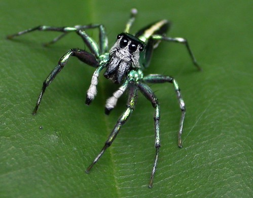 matthew-spider (Cosmophasis umbratica)