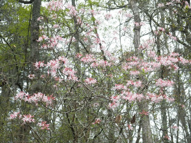 The native azaleas were in full bloom along the river bank on the day of the race.