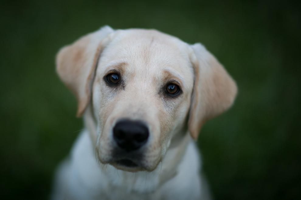 Este cachorro de Labrador Retriever llamado Hassan es fanático de las fotografías y no duda en posar frente a las cámaras de su dueño. (Tetsu Espósito)