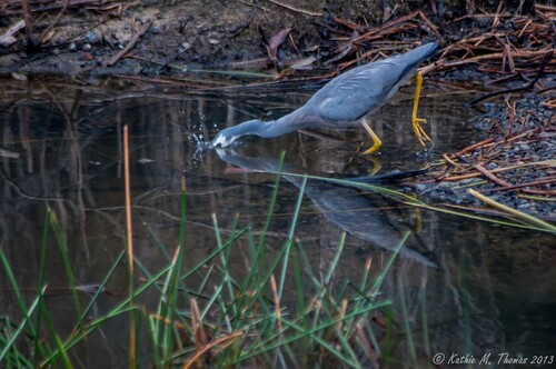 White faced Grey Heron