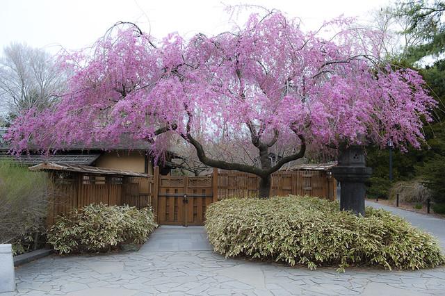 Weeping cherry tree at Japanese Pavillion, Brooklyn Botanic Garden, Brooklyn, NY
