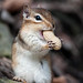 Happy Chipmunk by Justin Lo Photography