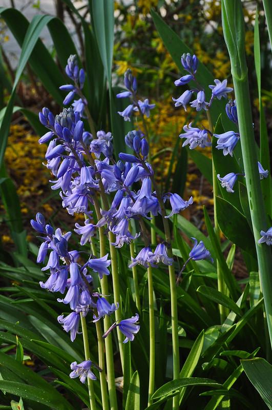 Hyacinthoides hispanica (3)