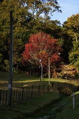 autumn tree, Kauaeranga Valley