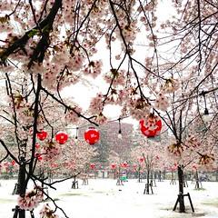 西公園の桜その1