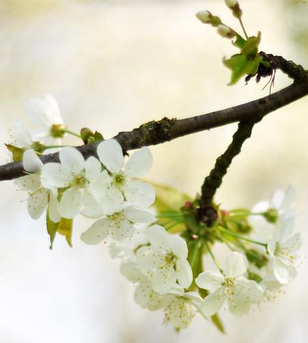 Alles weiß: Kirschblüte