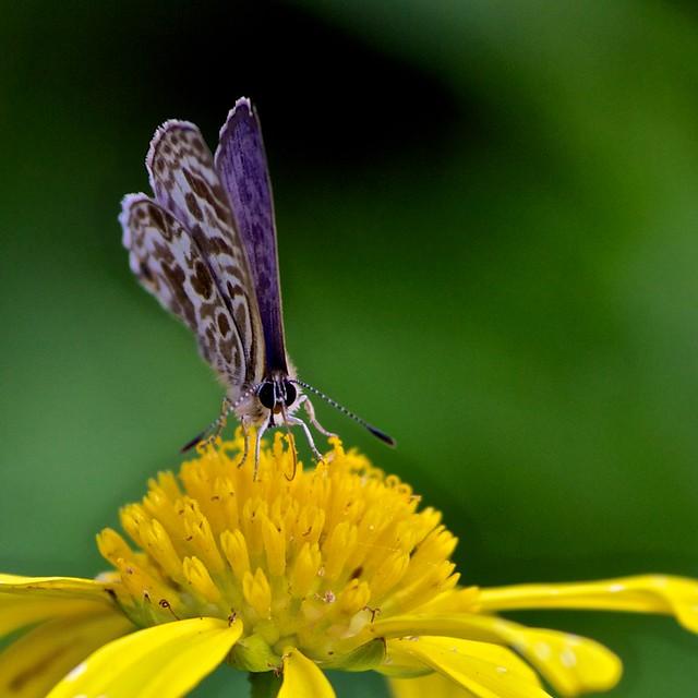 Butterfly Macro | Fl