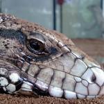 iguana kandangan