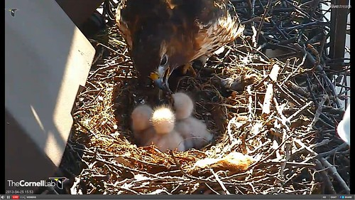Mommy tenderly feeding her babies