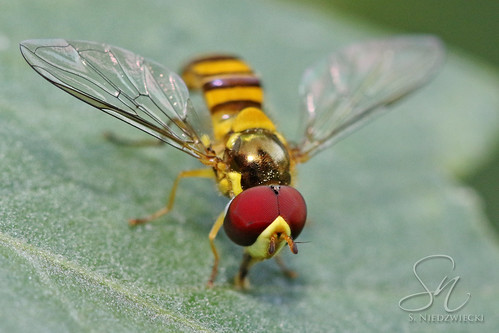 Hoverfly 6112-16