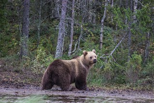 Bear Watching Karhu-Kuusamo Finland | by Tips For Travellers