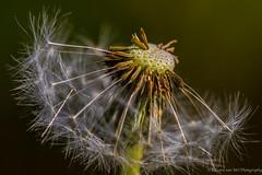 Dandelion seed on silver wings!