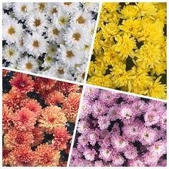 Mums, The Urban Garden,   Lafayette, Colorado 262/365 #mums #flowers #theurbangarden #lafayette #lafayetteco #colorado #project365 #365