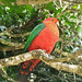 King Parrot (Phil Shaw)