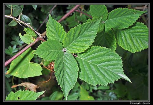 Vigne vierge à cinq folioles (Parthenocissus quinquefolia)