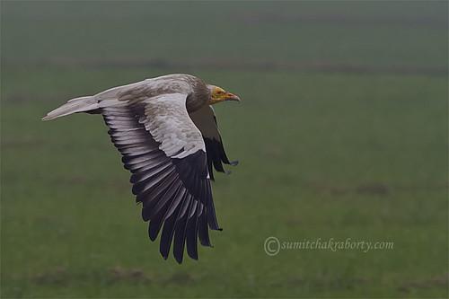 egyptian vulture in flight by goodfriend19