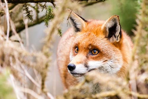 [フリー画像素材] 動物 (哺乳類), 狐・キツネ ID:201303011000