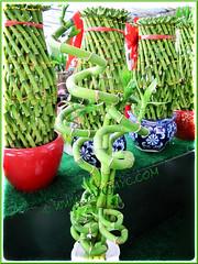 Dracaena braunii or D. sanderiana (Lucky Bamboo, Ribbon Plant/Dracaena, Belgian Evergreen) at a garden nursery