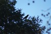 Another manual focus shoot, this time of a raven in a tree far away (using 420mm - 210x2).