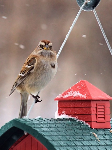 American Tree Sparrow 20130227