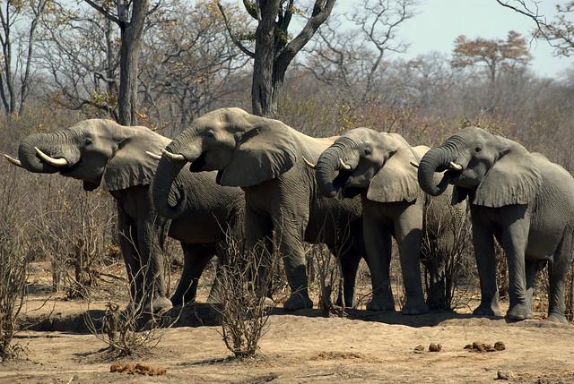 Elefantes - Zimbabue