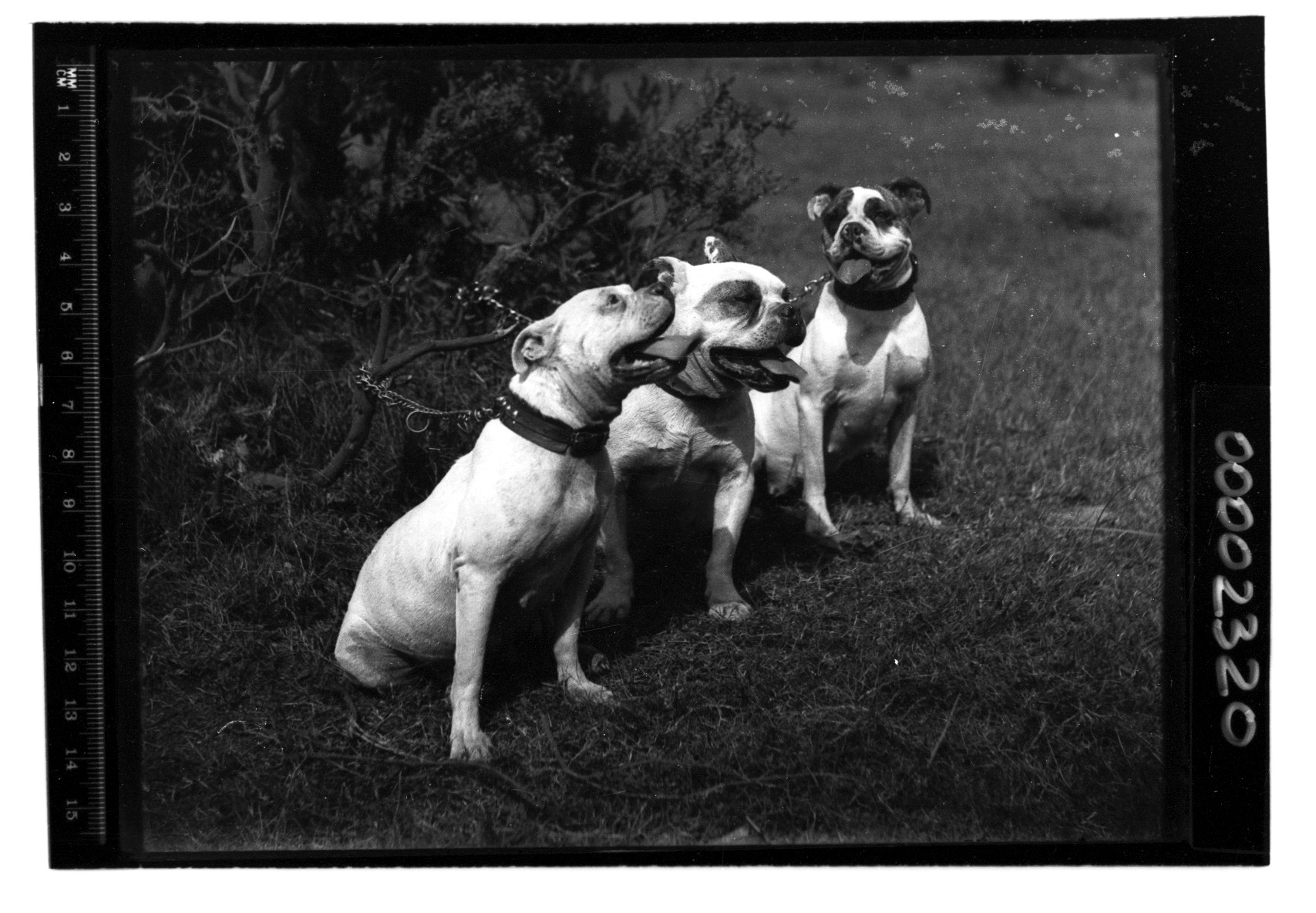 Three dogs leashed together