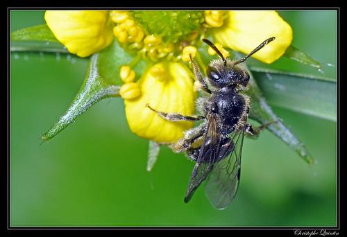 Andrena (Micrandrena) sp.