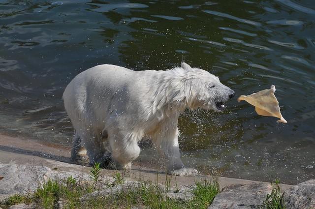 Eisbär Ranzo im Ranua Zoo