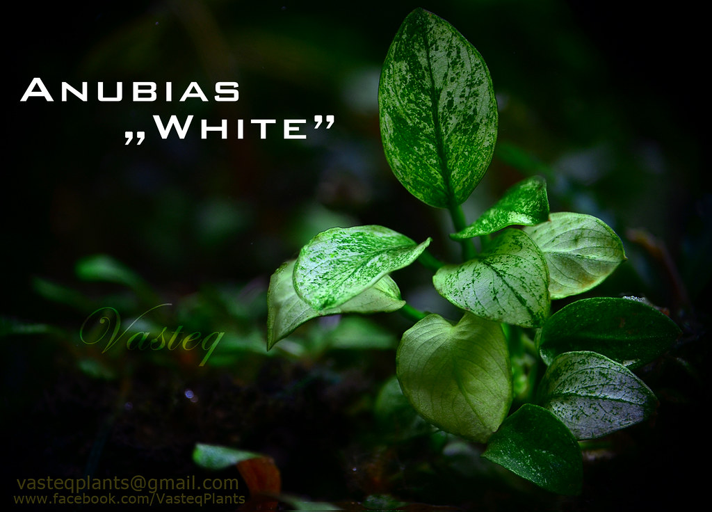 My Anubias Barteri Nana Quot White Quot New Plants For Planted