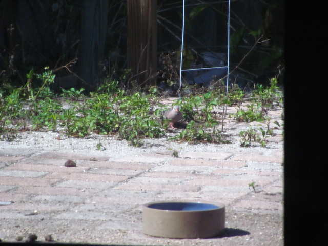 Common Ground Dove approaches bowl