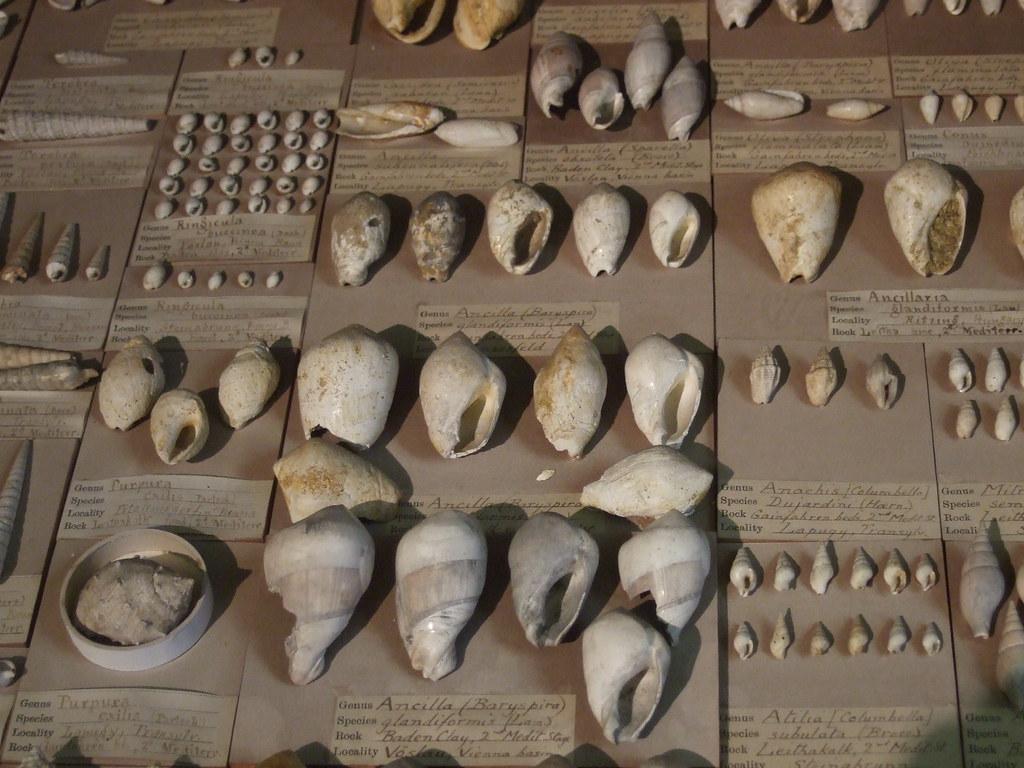 shells Sedgwick Museum