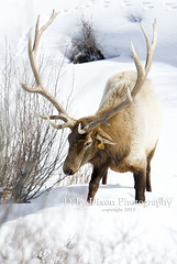 Bull Elk #10 Winter 2013