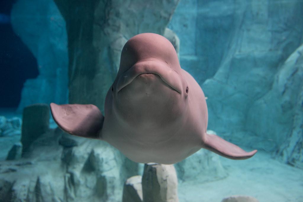 Beluga Whale - L'Oceanogràfic