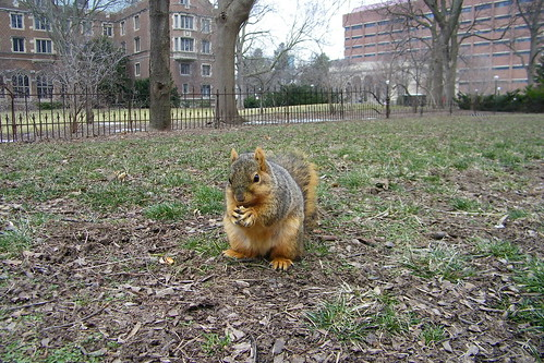 281/365/1742 (March 19, 2013) - Squirrel at the University of Michigan