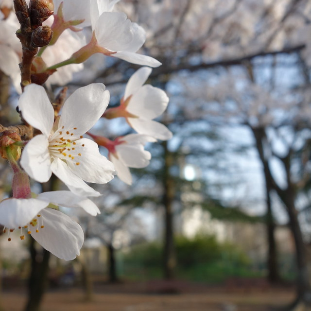 今年の桜。散り始めたところもある。