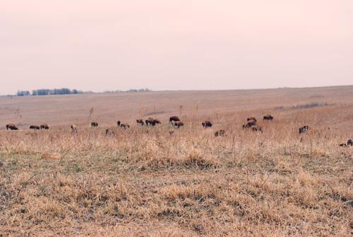 bison4