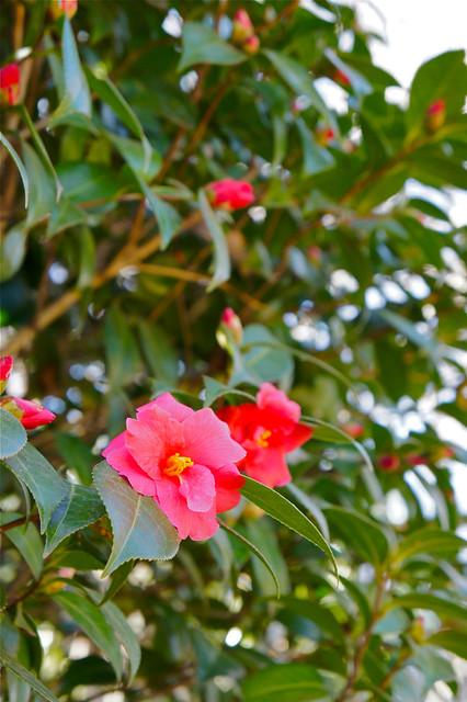 椿の花 2013